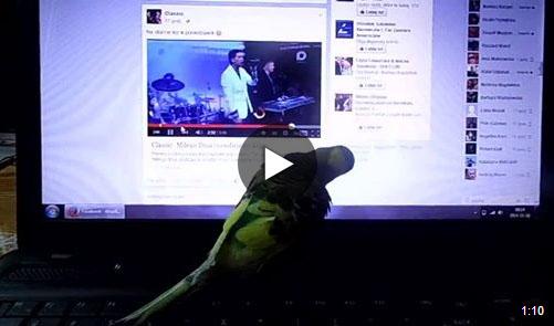 Papuga słuchająca disco polo